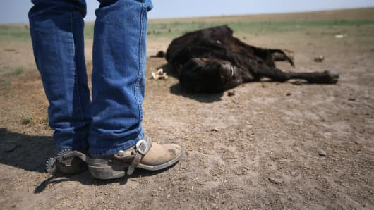 File photo of a rancher inspecting a dead cow in Colorado.