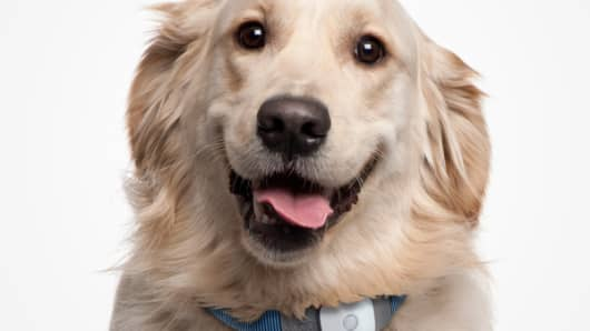 Golden Retriever wearing a Tagg device.