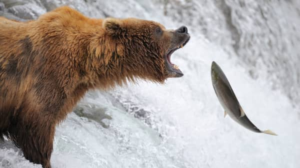 Grizzly bear catching salmon, grizzly catching fish