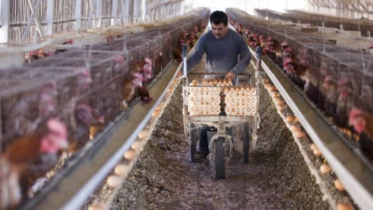 A farm worker collects eggs in an old-fashioned chicken house at an egg farm, on November 6, 2014 in San Diego, California.