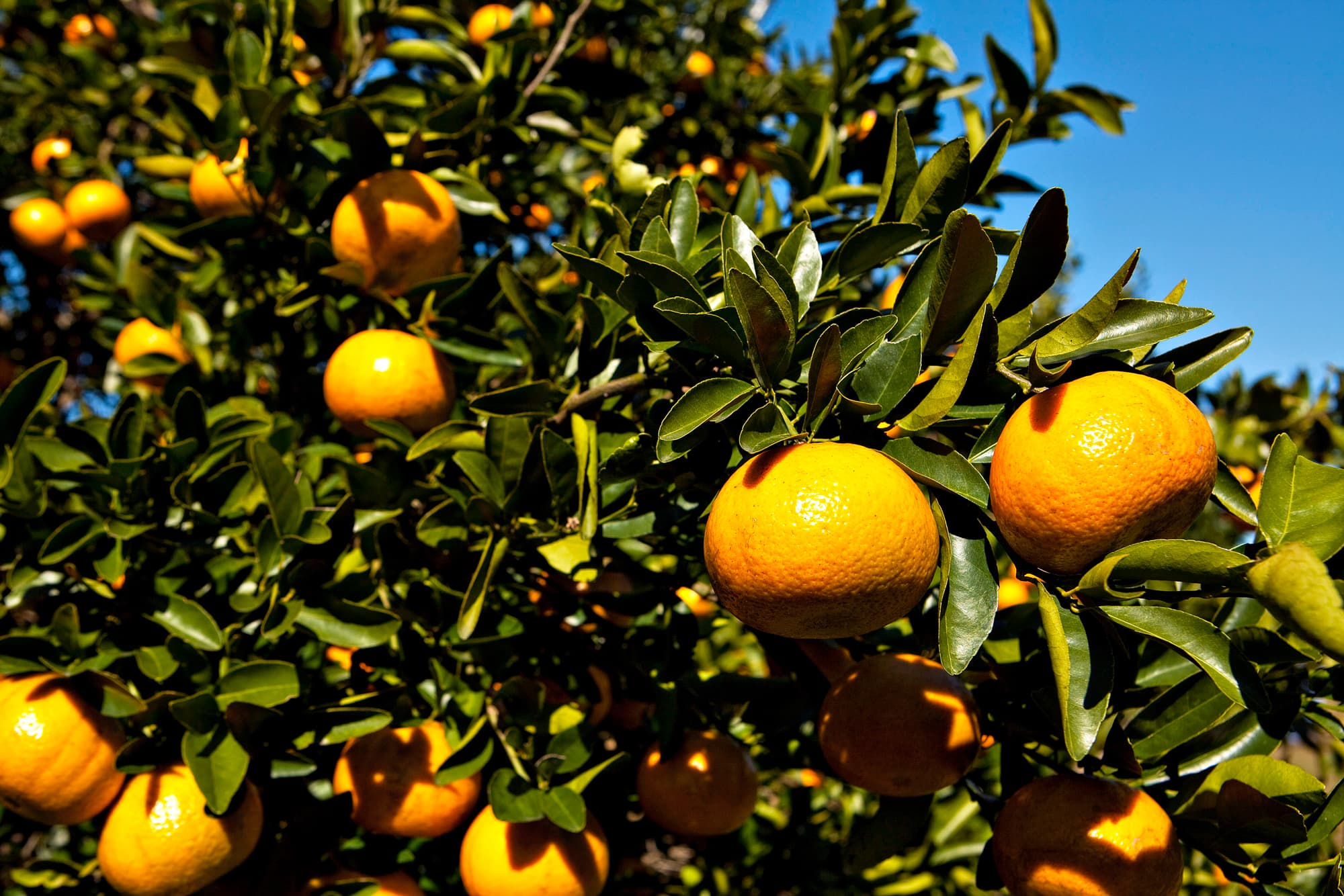 citrus crop problems what problem rhymes with orange