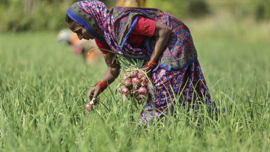A worker harvests onions on a farm near Umrana, Maharashtra, India, on Tuesday, Nov. 11, 2014.