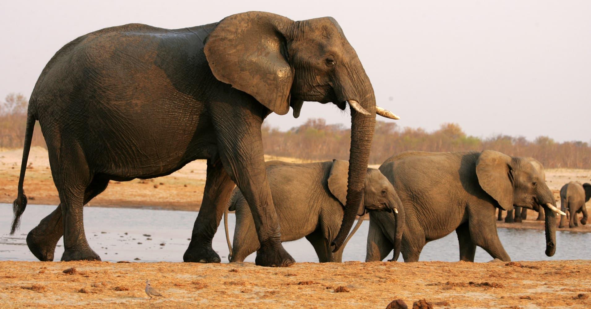 Trump administration quietly OKs elephant trophy imports — again