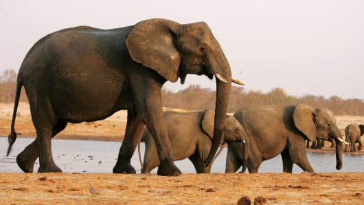 A herd of elephants walks past a watering pan supplied with water pumped from boreholes powered by more than 45 diesel-powered generators which run continuosly to ensure a steady supply of water for animals in the arid Hwange National Park.