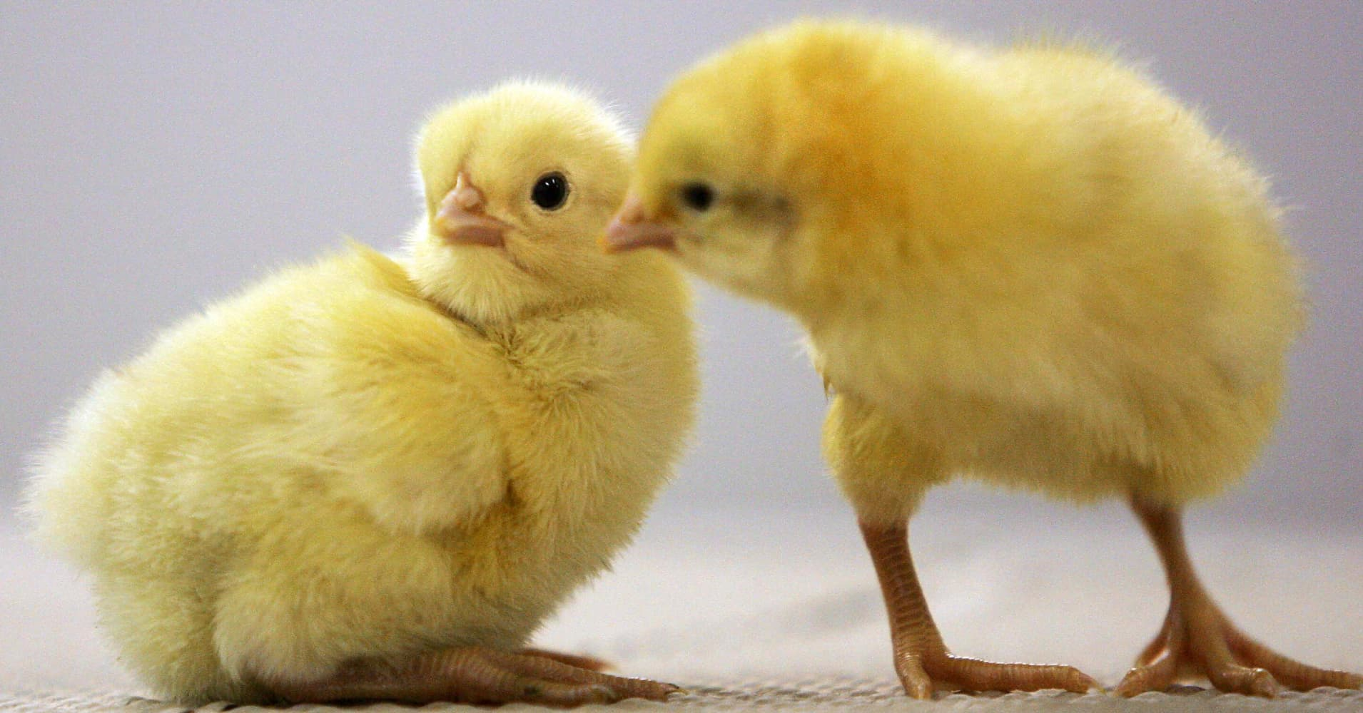 Baby Chicken Quotes: Working With Baby Chickens: Why No One In The UK Wants