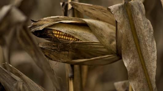 An ear of corn hangs in a field outside Tiskilwa, Ill.