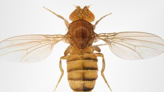 UCSD fly gene mutation