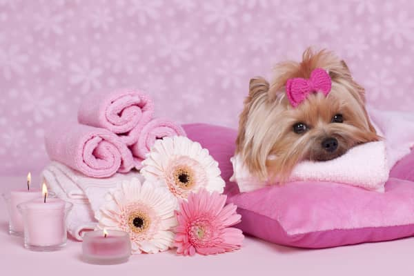 Yorkshire Terrier at the spa
