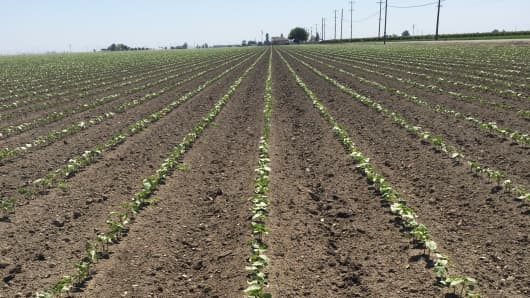 Newly planted cotton as seen this week on a farm in Tulare, California.