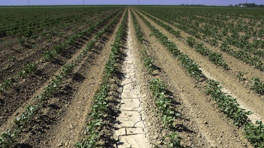 Dry, cracked earth runs between wilting cotton plants on an abandoned farm near Firebaugh, California.