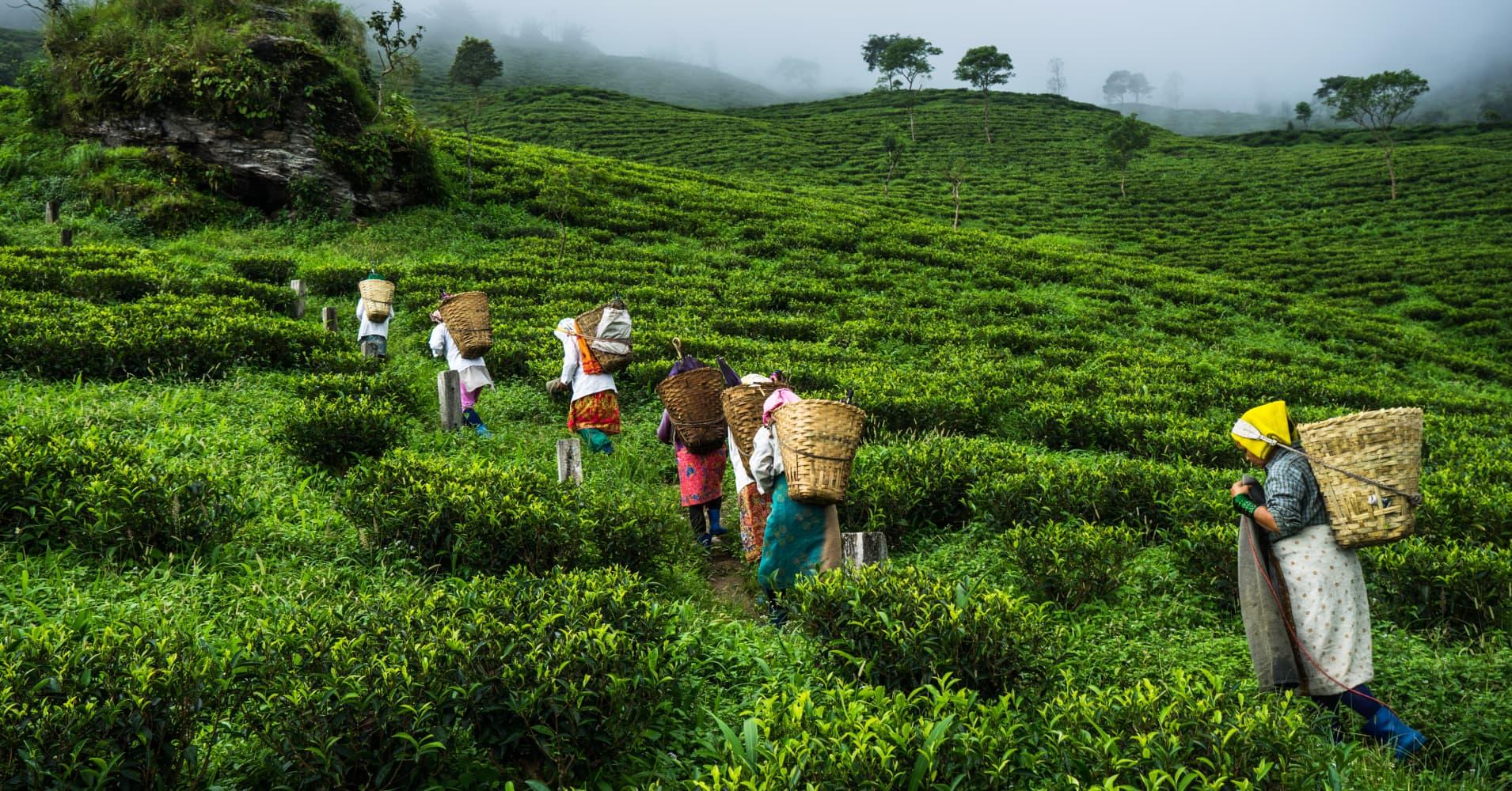climate change sparks tension  indias tea gardens