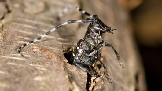 An exit hole is damage caused by an adult Asian longhorned beetle emerging from an infested tree.