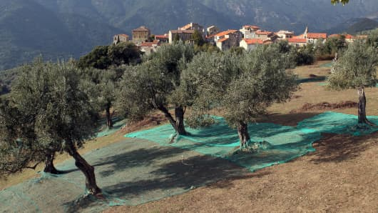 FRANCE-CORSICA-AGRICULTURE-EPIDEMIC-OLIVE-TREE