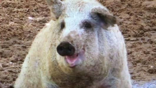 A Mangalitsa pig