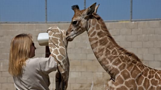 San Diego lead zookeeper Jane Kennedy feeding a baby giraffe with the help of a giraffe print towel.