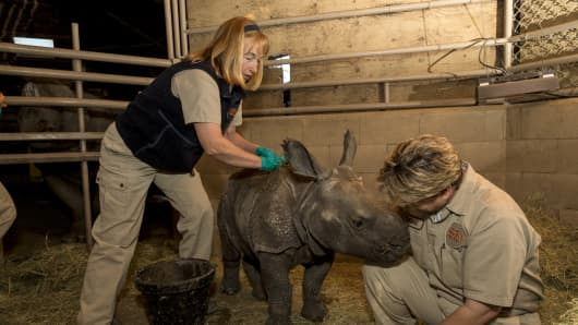 San Diego lead zookeeper Jane Kennedy (left) rubs mud on a baby rhino to protect its skin from the sun.