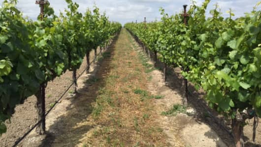 Green Island Vineyards grows Pinot Noir grapes for top Napa Valley wineries, and uses treated wastewater to irrigate.