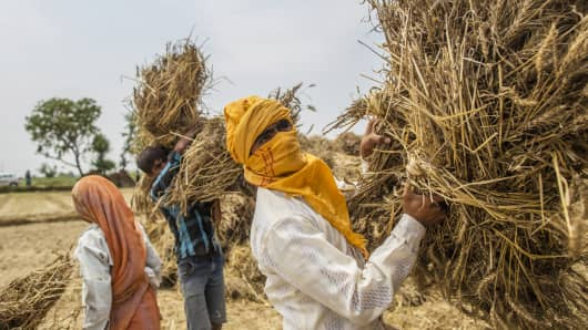 Indian farmers collect bundles of wheat during a harvest at a farm.