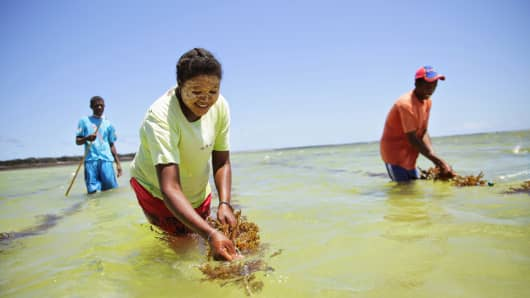 "Local workers harvesting red ""cottonii"" seaweed from a Blue Ventures-sponsored aquaculture program in Toliara, Madagascar"