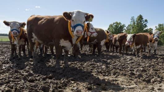 Cattle near Montevideo, Uruguay.