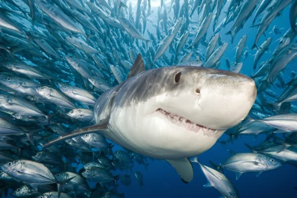 Great White Shark near Guadalupe Island, Mexico.