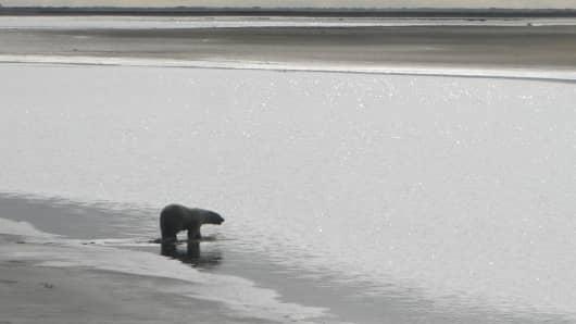 An adult polar bear wading into coastal waters near Prudhoe Bay, Alaska. August 2008.