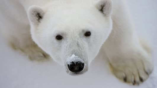 A female polar bear looking up at the Polar Sea icebreaker on the pack ice over deep waters in the Arctic Ocean.