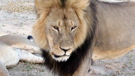 In this frame grab taken from a November 2012 video made available by Paula French, a well-known, protected lion known as Cecil strolls around in Hwange National Park, in Hwange, Zimbabwe.