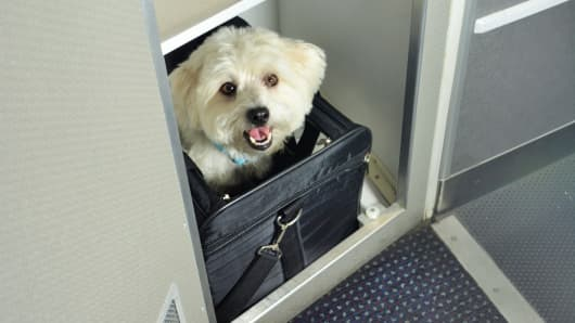 Pets begin flying the friendly skies on some planes for Airlines that allow dogs in cabin