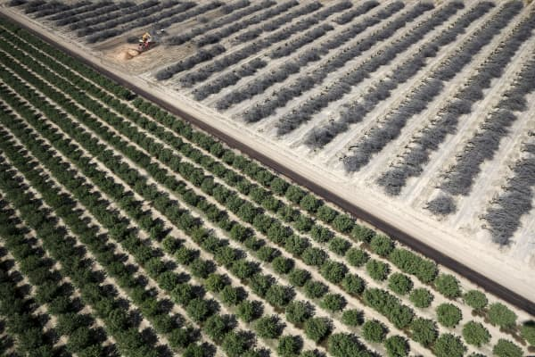 Fields of dead and growing almond trees in Coalinga in the Central Valley. Direct agriculture costs of the drought will reach around $1.84 billion and more than 10,000 direct seasonal jobs, according to UC Davis.
