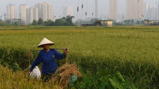 A farmer harvests rice on a field next to residential buildings on the outskirts of Hanoi.