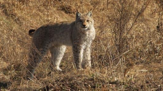 A lynx near Chernobyl