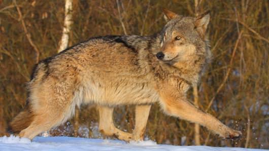 A Chernobyl wolf