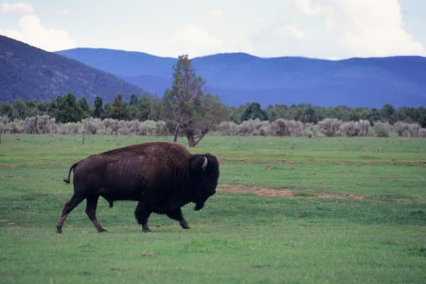 Bison on ranch