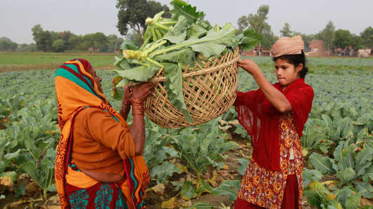 Female farmers carrying a cauliflower basket to sell at the local market early in the morning in Allahabad, India.