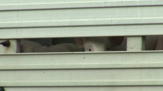 Piglets peek out from the truck that overturned on I-40 in Raleigh, North Carolina.