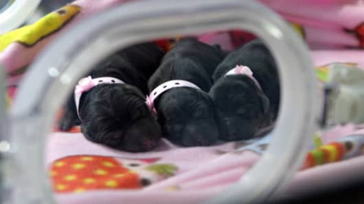 Three cloned puppies snuggle in an incubator at a Boyalife Group facility in Tianjin, China, in 2014.