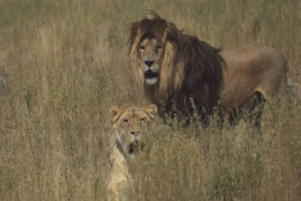 'Canned' African lion hunts may get wiped out