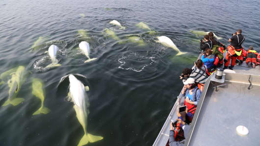 Tourists watch beluga whales in northern Manitoba, Canada.