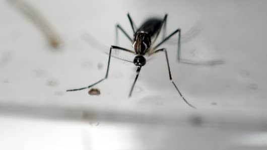 An Aedes Aegypti mosquito is photographed in a laboratory of control of epidemiological vectors in San Salvador, on January 27, 2016.