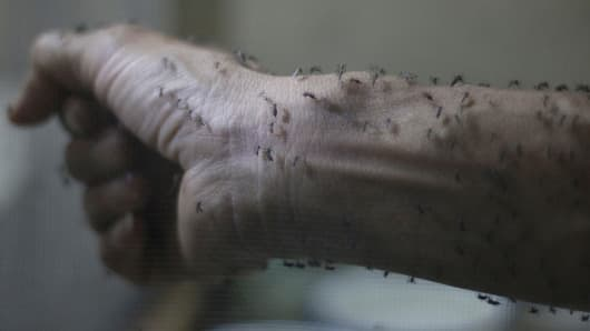 The forearm of a public health technician is seen covered with sterile female Aedes aegypti mosquitoes after leaving a recipient to cultivate larvae, in a research area to prevent the spread of Zika virus and other mosquito-borne diseases, at the entomology department of the Ministry of Public Health, in Guatemala City, January 26, 2016.