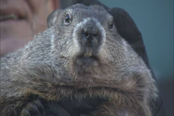 Punxsutawney Phil 'predicts' early spring
