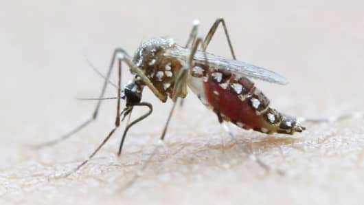 An Aedes Aegypti mosquito