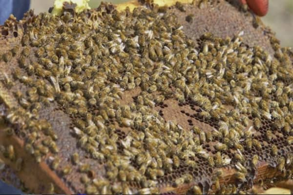 Bee thieves kill the buzz for almond growers