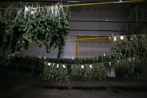 Cannabis hangs inside the 'cure room' inside a medical cannabis cultivation facility in Denver, Colorado.