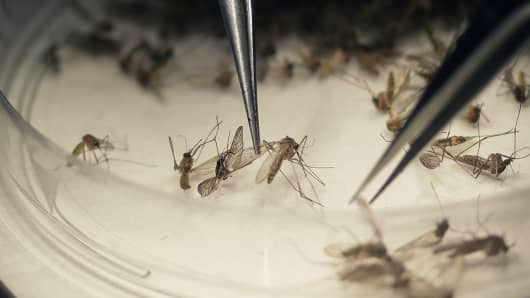 Dallas County Mosquito Lab microbiologist Spencer Lockwood sorts mosquitos collected in a trap, left, Thursday, Feb. 11, 2016, in Hutchins, Texas, that had been set up in Dallas County near the location of a confirmed Zika virus infection.
