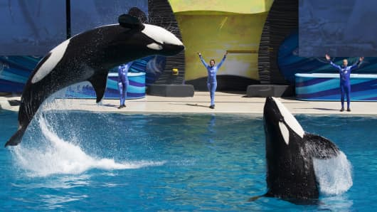Trainers have Orca killer whales perform for the crowd during a show at the animal theme park SeaWorld in San Diego. (File photo).