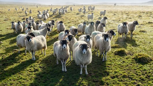 Army of sheep