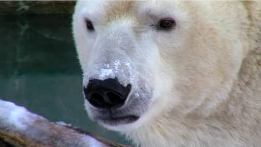A polar bear in the Cincinnati Zoo & Botanical Garden