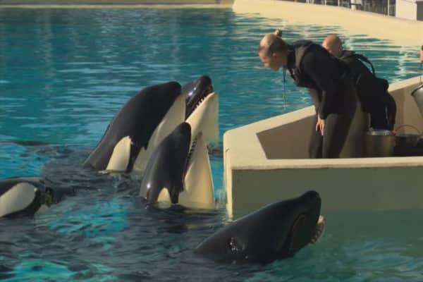 SeaWorld to end orca breeding